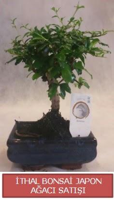 İthal küçük boy minyatür bonsai ağaç bitkisi  Bursa kaliteli taze ve ucuz çiçekler