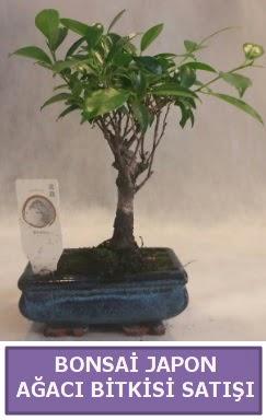 İthal Bonsai japon ağacı bitkisi satışı  Bursa hediye sevgilime hediye çiçek