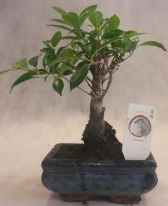 Bonsai ağacı japon ağaç bitkisi  Bursa çiçek servisi , çiçekçi adresleri