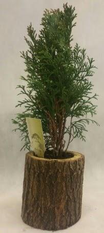 SINIRLI STOK Selvi Bonsai Doğal kütükte  Bursa hediye sevgilime hediye çiçek