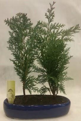 SINIRLI SAYIDA Selvi Ağacı bonsai ikili  Bursa kaliteli taze ve ucuz çiçekler