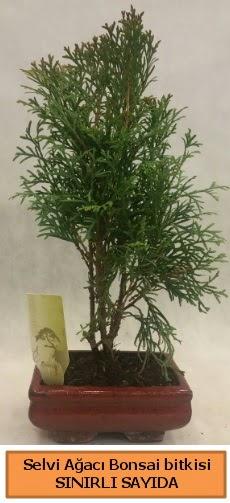 Selvi ağacı bonsai japon ağacı bitkisi  Bursa güvenli kaliteli hızlı çiçek