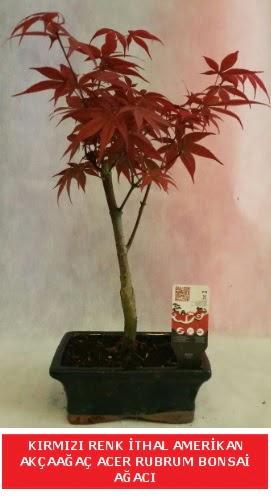 İTHAL ACER RUBRUM BONSAİ AĞACI  Bursa çiçek online çiçek siparişi