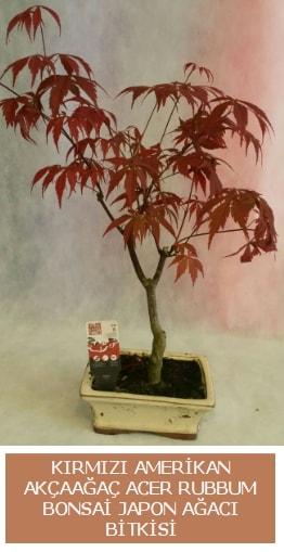 Amerikan akçaağaç Acer Rubrum bonsai  Bursa çiçekçi mağazası