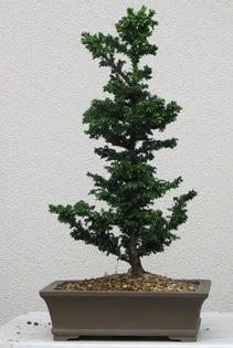 Çam ağacı bonsai bitkisi satışı  Bursa kaliteli taze ve ucuz çiçekler