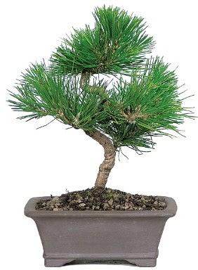 Çam ağacı bonsai japon ağacı bitkisi  Bursa çiçek mağazası , çiçekçi adresleri