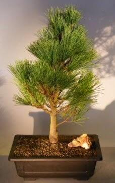 Çam ağacı japon ağacı bitkisi bonsai  Bursa kaliteli taze ve ucuz çiçekler