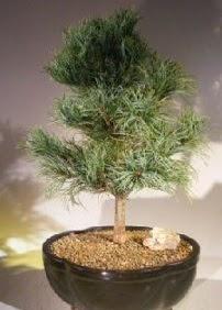 Çam ağacı bonsai bitkisi satışı  Bursa online çiçekçi , çiçek siparişi