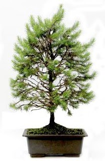 *** STOKTA YOK - Çam ağacı bonsai bitkisi satışı  Bursa hediye çiçek yolla