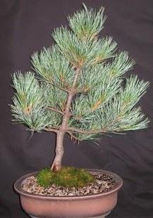 Bonsai çam ağacı japon ağacı bitkisi  Bursa çiçek gönderme sitemiz güvenlidir