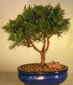 Servi çam bonsai japon ağacı bitkisi  Bursa çiçek servisi , çiçekçi adresleri
