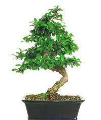 Bonsai bitkisi satışı  Bursa kaliteli taze ve ucuz çiçekler