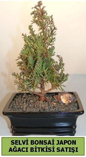 Selvi çam japon ağacı bitkisi bonsai  Bursa kaliteli taze ve ucuz çiçekler