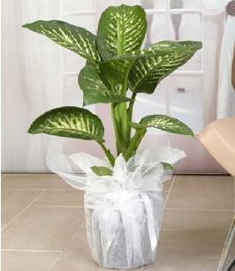 Tropik saksı çiçeği bitkisi  Bursa güvenli kaliteli hızlı çiçek