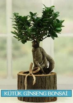 Kütük ağaç içerisinde ginseng bonsai  Bursa çiçek online çiçek siparişi
