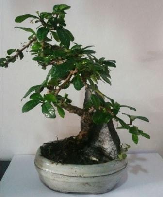 S şeklinde ithal bonsai ağacı  Bursa çiçek servisi , çiçekçi adresleri