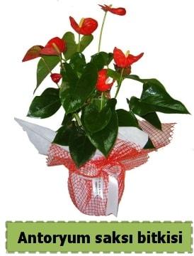 Antoryum saksı bitkisi satışı  Bursa yurtiçi ve yurtdışı çiçek siparişi