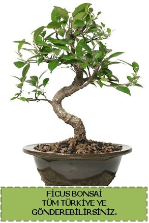 Ficus bonsai  Bursa çiçek online çiçek siparişi