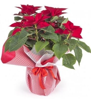 Atatürk çiçeği saksı bitkisi  Bursa çiçek online çiçek siparişi