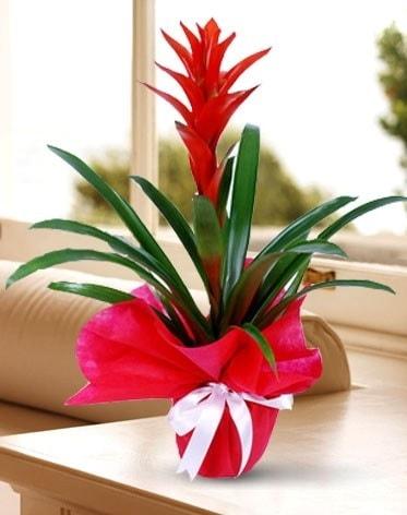 Guzmanya Saksı Çiçeği  Bursa çiçek servisi , çiçekçi adresleri