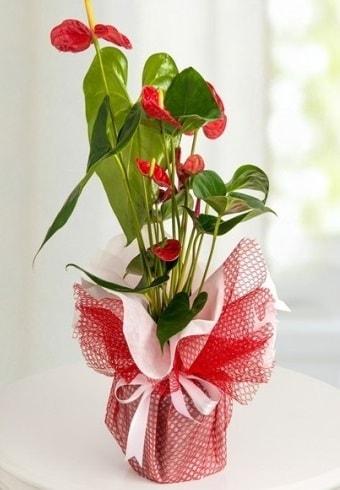 Anthurium Saksı Çiçeği  Bursa çiçek yolla , çiçek gönder , çiçekçi