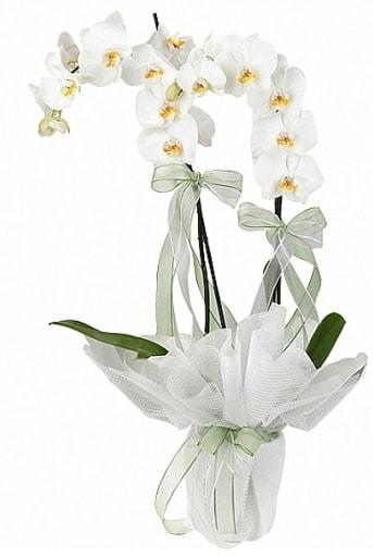 Çift Dallı Beyaz Orkide  Bursa internetten çiçek satışı