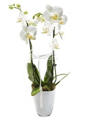 2 dallı beyaz seramik beyaz orkide saksısı  Bursa çiçek online çiçek siparişi