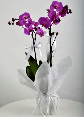 Çift dallı saksıda mor orkide çiçeği  Bursa çiçek satışı