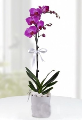 Tek dallı saksıda mor orkide çiçeği  Bursa çiçek gönderme