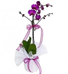 Tek dallı saksıda ithal mor orkide çiçeği  Bursa çiçek gönderme