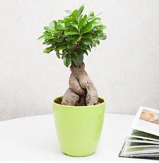 Ficus Ginseng Bonsai  Bursa çiçek siparişi sitesi