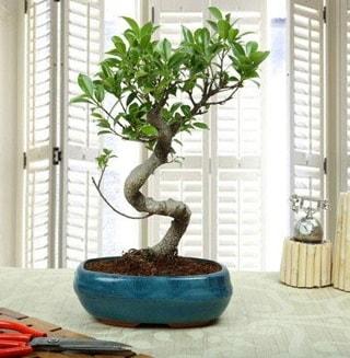Amazing Bonsai Ficus S İthal  Bursa çiçekçi telefonları
