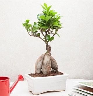 Exotic Ficus Bonsai ginseng  Bursa çiçek siparişi vermek