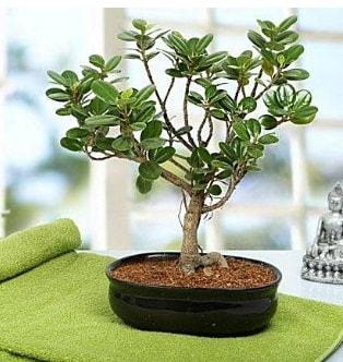 Lovely Ficus Iceland Bonsai  Bursa internetten çiçek satışı
