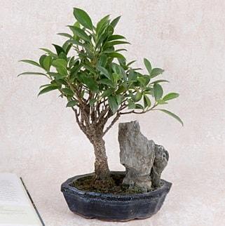 Japon ağacı Evergreen Ficus Bonsai  Bursa çiçek online çiçek siparişi