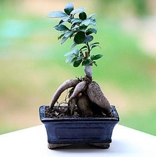 Marvellous Ficus Microcarpa ginseng bonsai  Bursa çiçek satışı
