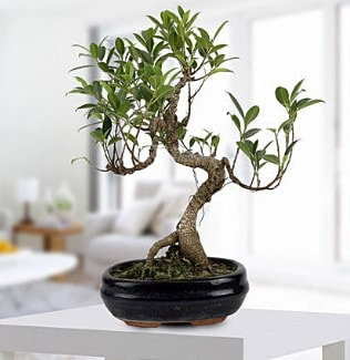 Gorgeous Ficus S shaped japon bonsai  Bursa uluslararası çiçek gönderme