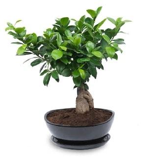 Ginseng bonsai ağacı özel ithal ürün  Bursa çiçek yolla