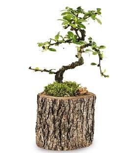 Doğal kütükte S bonsai ağacı  Bursa güvenli kaliteli hızlı çiçek