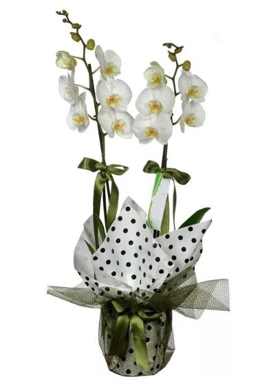 Çift Dallı Beyaz Orkide  Bursa çiçek siparişi sitesi