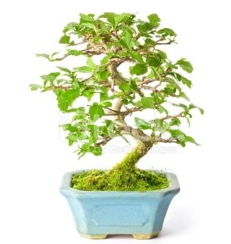 S zerkova bonsai kısa süreliğine  Bursa hediye sevgilime hediye çiçek
