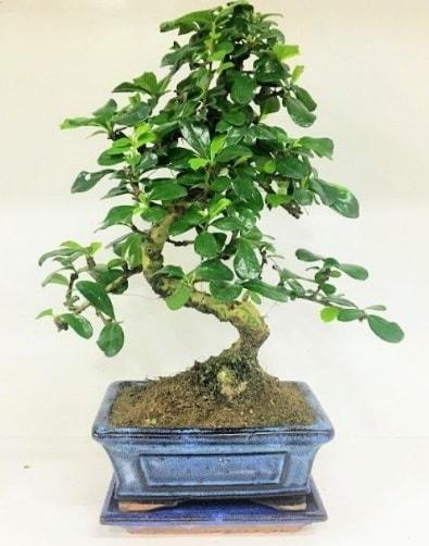 S Bonsai japon ağacı bitkisi  Bursa çiçekçi mağazası