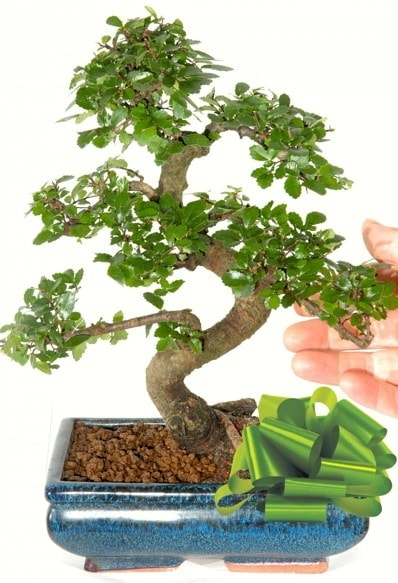 Yaklaşık 25 cm boyutlarında S bonsai  Bursa çiçek gönderme sitemiz güvenlidir