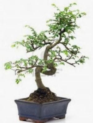 S gövde bonsai minyatür ağaç japon ağacı  Bursa güvenli kaliteli hızlı çiçek