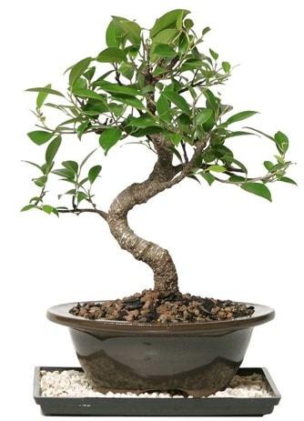 Altın kalite Ficus S bonsai  Bursa kaliteli taze ve ucuz çiçekler  Süper Kalite