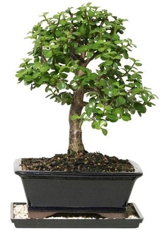 15 cm civarı Zerkova bonsai bitkisi  Bursa çiçek gönderme sitemiz güvenlidir
