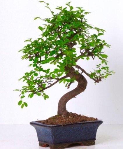 S gövdeli bonsai minyatür ağaç japon ağacı  Bursa çiçek online çiçek siparişi