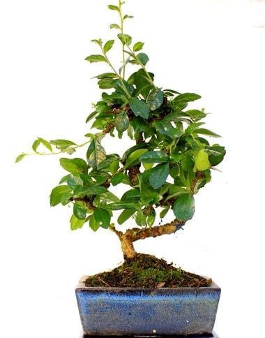 S gövdeli carmina bonsai ağacı  Bursa çiçek servisi , çiçekçi adresleri  Minyatür ağaç