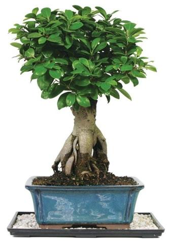 Bonsai Ginsing Grafted Ficus Bonsai  Bursa çiçek servisi , çiçekçi adresleri
