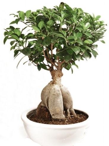 Ginseng bonsai japon ağacı ficus ginseng  Bursa hediye sevgilime hediye çiçek